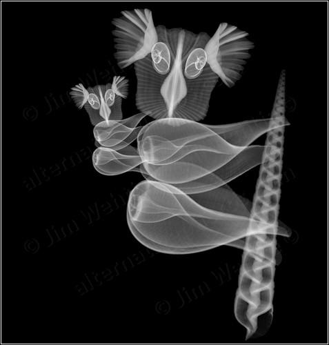 Коллажи из рентгеновских снимков ракушек от Jim Wehtje