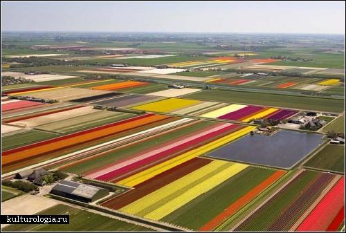Гектары разноцветных тюльпанов