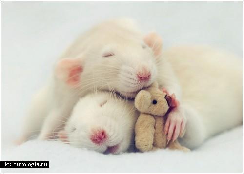 Фотосессия крысят от Jessica Florence