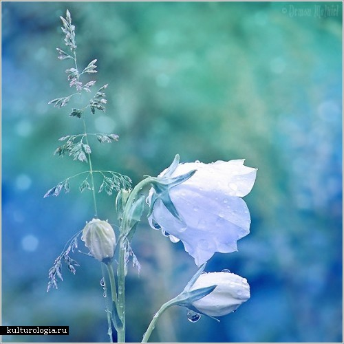 Нежные и хрупкие цветы макрофотографа Demon Mathiel