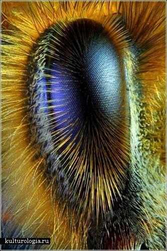 Глаз пчелы (Фотография  R. Grimm и  Greg Rowse)