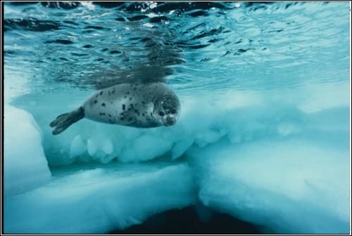 Гренландский тюлень (Фотограф Brian Skerry)