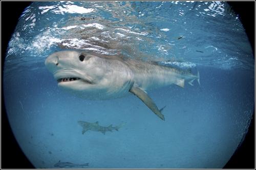 Тигровая акула (Фотограф Brian Skerry)