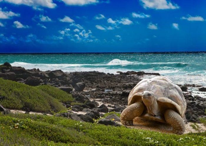 Галапагосская черепаха на острове Пинсон (Галапагосские острова, Эквадор).