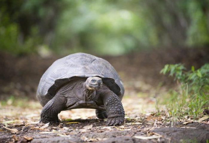 Гигантская черепаха в дикой природе. Нагорье Санта-Круса, Галапагосские острова, Эквадор.
