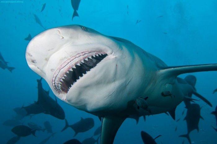 Евреи - повелители акул?