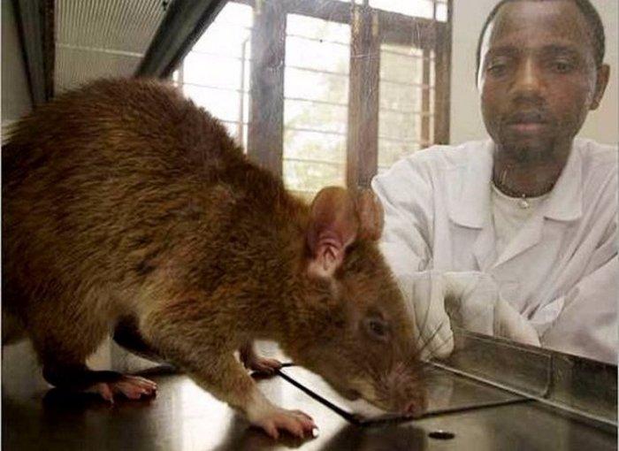Крысы-убийцы.