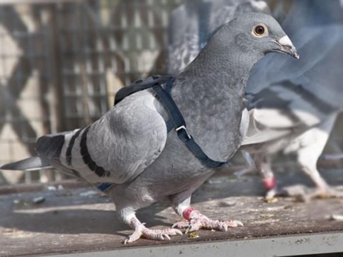 Голубиная почта: Как птиц превратили в почтальонов и отправили служить на фронт