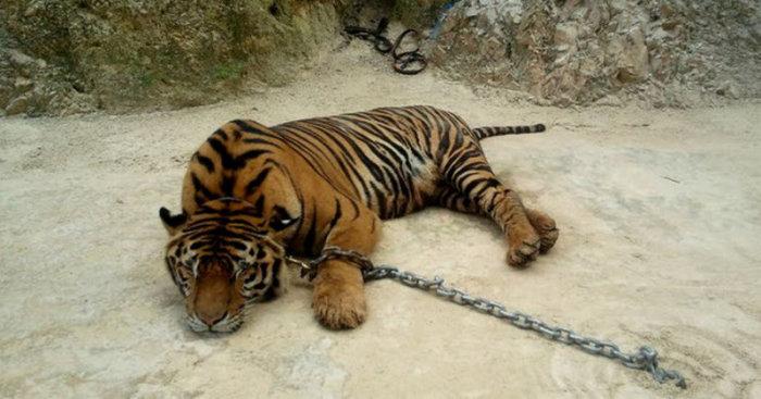 Храмовые тигры.