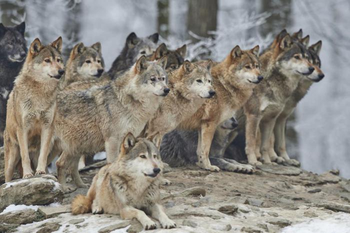 Волки мигрировали из лесов Литвы и Волыни во внутренние районы Германской империи.