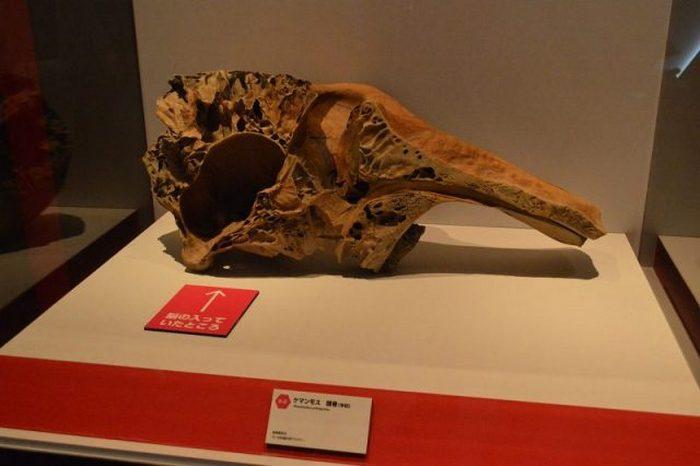 Половина черепа шерстистого мамонта (не Юки). В полости, на которую указывает стрелка, находился мозг.