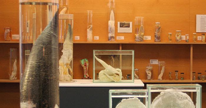 Исландский фаллологический музей. Рейкьявик, Исландия