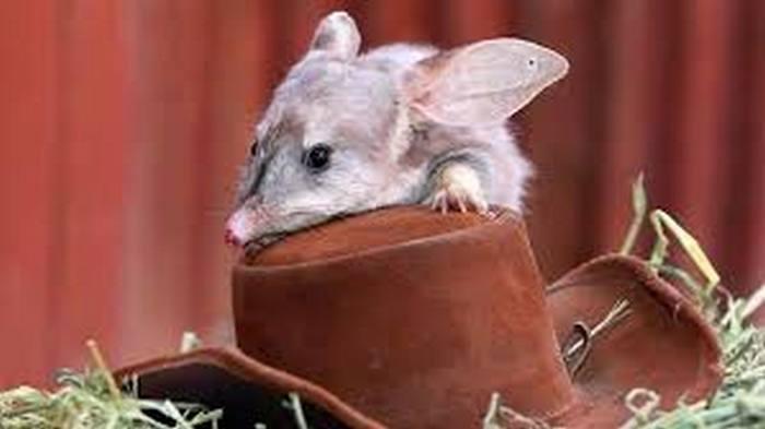 Пасхальный билби - символ Австралии. / www.facebook.com