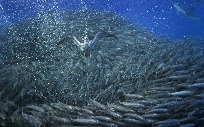 Атака буревестника. Подводные фотографии Кристофера Сванна
