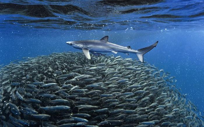 Акулы на охоте. Подводные фотографии Кристофера Сванна