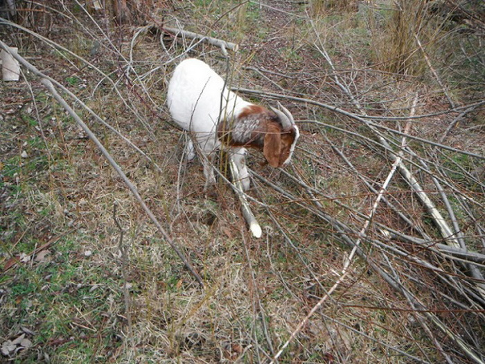 Дикая коза, запутавшаяся в кустарнике.