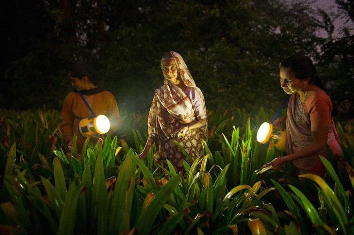 Сбор лилий в штате Гуджарат (Индия)