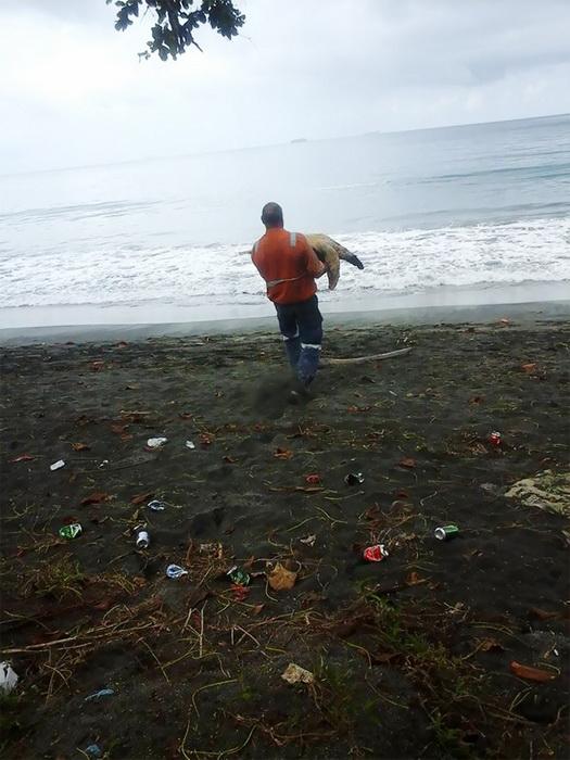 Аррон Каллинг несет черепаху к морю