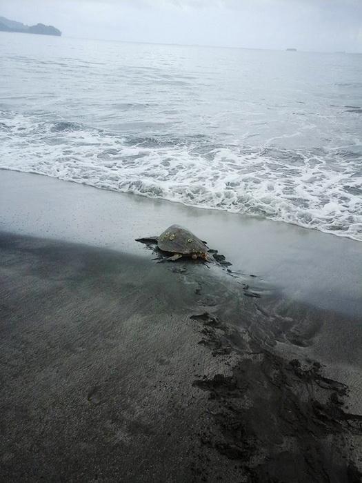 Черепаха в родной стихии