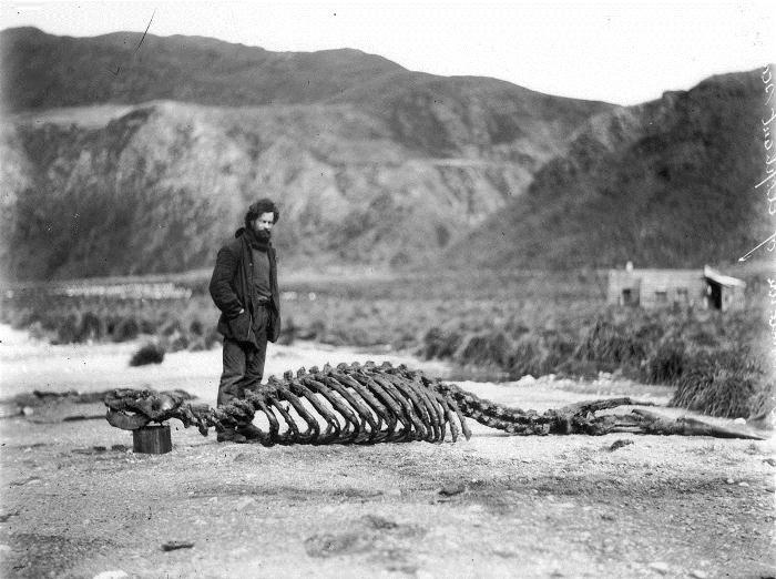 Скелет морского слона.