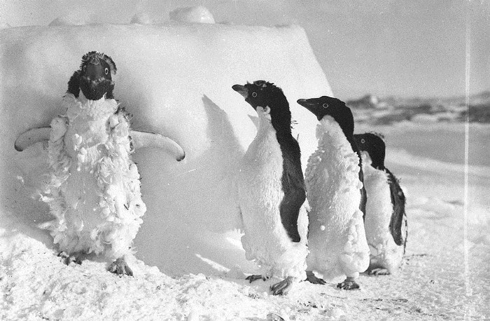 Пингвины Адели.