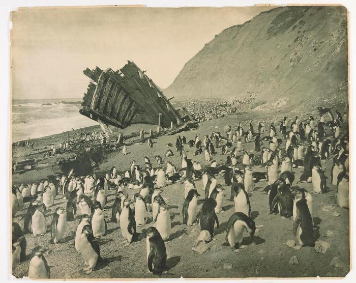 Пингвины на острове Маккуори, 1911 год.