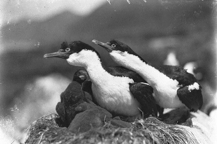 Бакланы защищают гнездо.