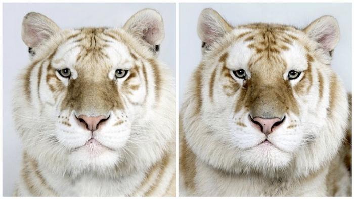 Фотографии бенгальских тигров от Bhagavan Antle