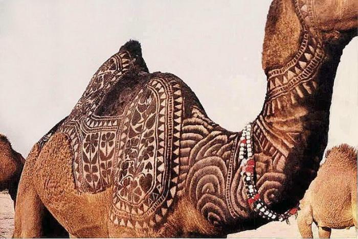 Удивительные верблюды на Bikaner Camel Festival