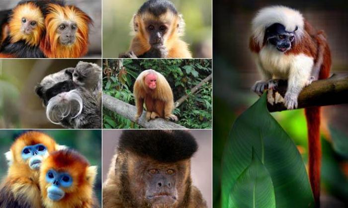 В Бразилии 77 видов обезьян, но увидеть их можно только в зоопарках.