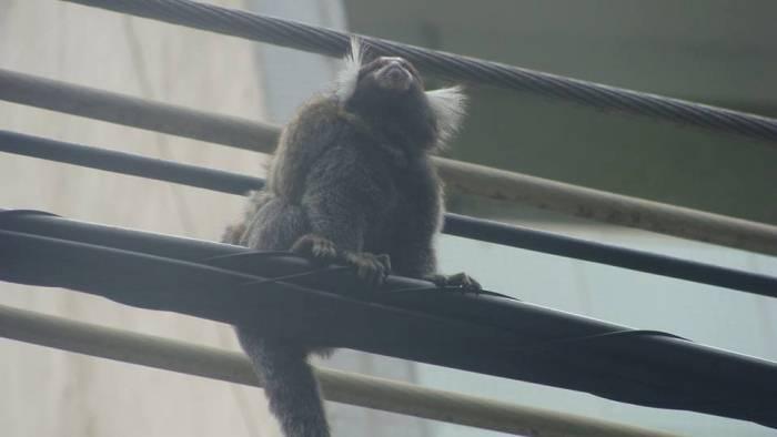 Увидеть обезьяну в городе - большая удача.