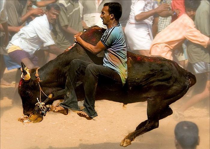 Лишь некоторым смельчакам удается оседлать разъяренного быка