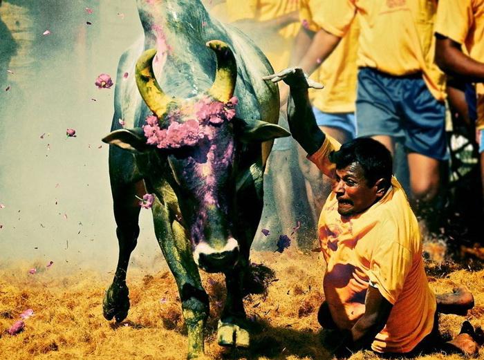 Джалликатту - коррида на индийский манер