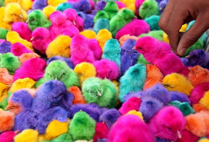Иордания. Раскрашенные цыплята продаются на рынке в преддверии Пасхи