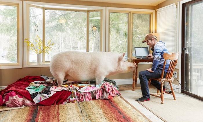 Чистюля-Эстер предпочитает жить дома, а не в хлеву.