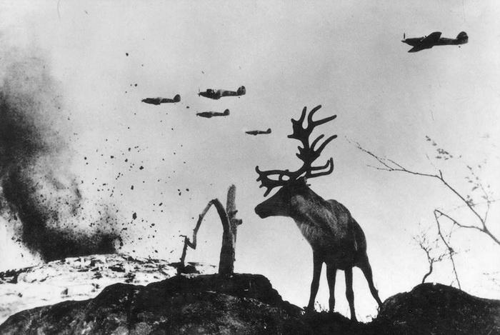 Олень Яша. Заполярье, 1942 год. Кадр смонтирован.