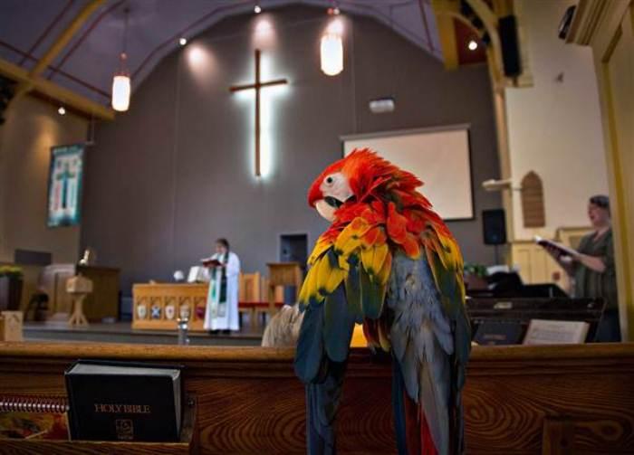 Домашний попугай на богослужении. Фото: Animal.ru