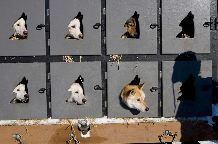 Гонки на собачьих упряжках *Идитарод*: приготовления к соревнованию
