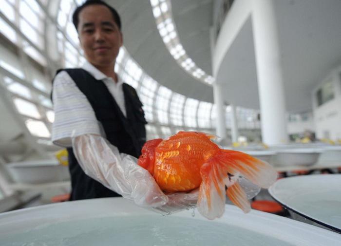 Международный конкурс красоты среди золотых рыбок в Китае