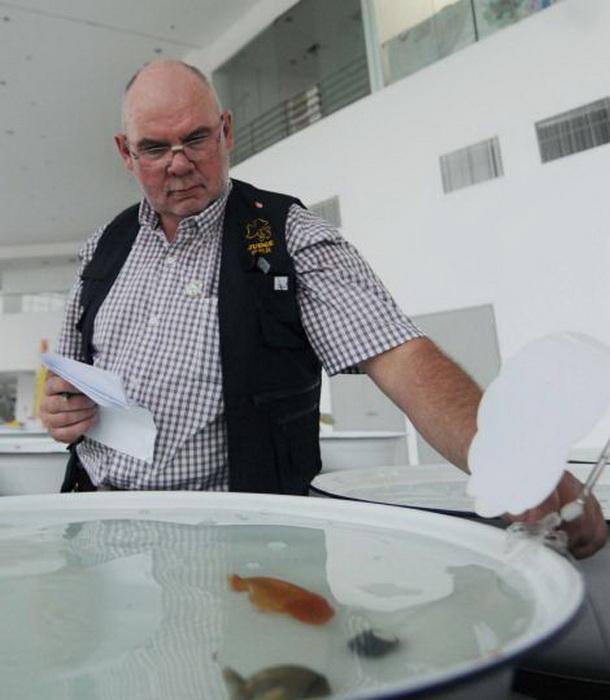 Жюри оценивало вес, длину, цвет, форму, грациозность и манеру плавания рыбок