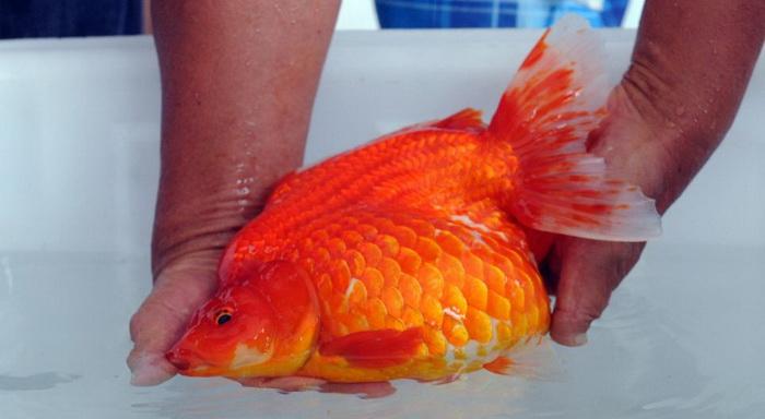 Вес рыбки-победительницы - 3,9 кг