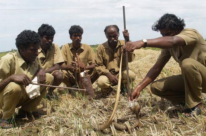 Охотники на змей из племени ирула. Фото: tourmyindia.com