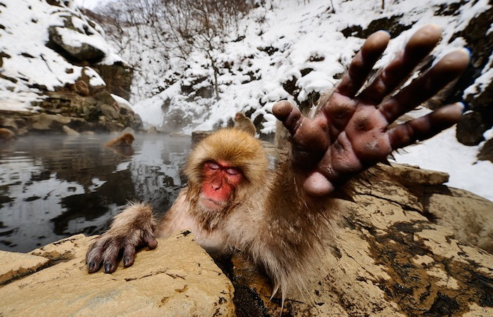Фотографии японских макак от Jasper Doest