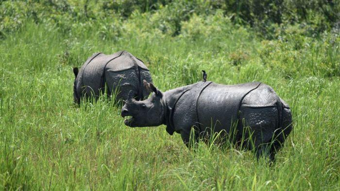 Однорогие носороги в Национальном парке Казиранга.