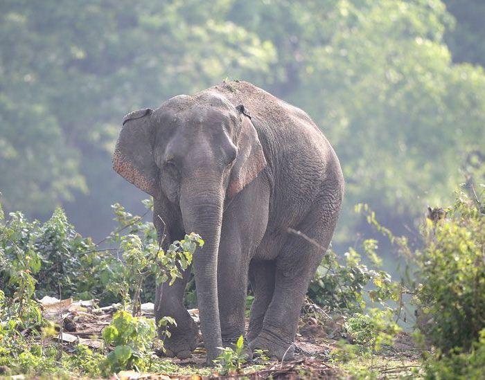 Слон в Национальном парке Казиранга.