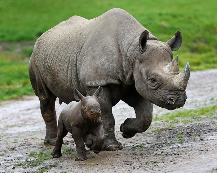 Носорог с детенышем.