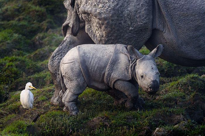 Популяция носорогов в мире на грани исчезновения.
