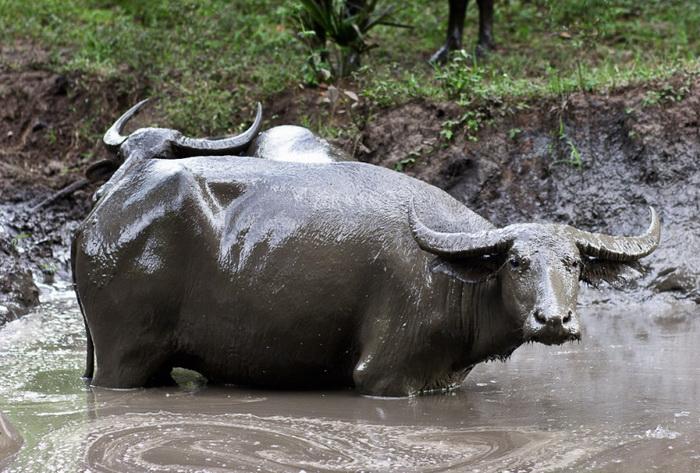 Котоко издавна разводят буйволов   Фото: repin.info