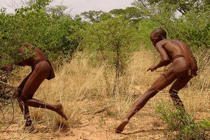 Бушмены на охоте используют отравленные стрелы