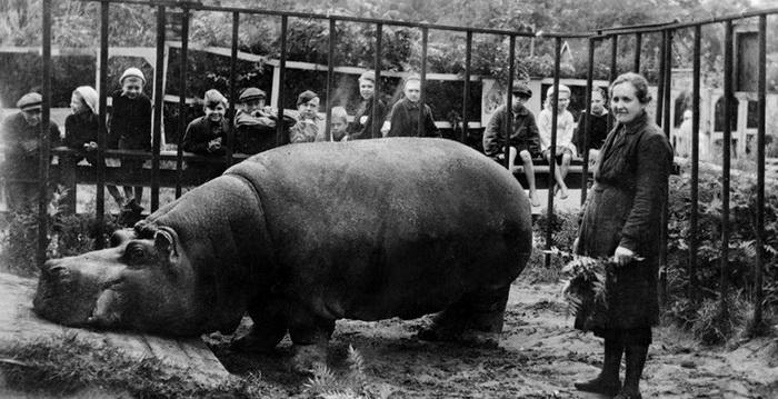 Бегемотиха Красавица пережила блокаду в Ленинградском зоопарке